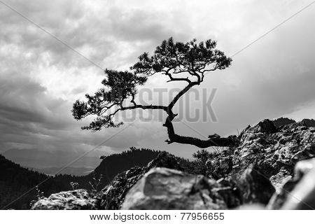 Pine, Most Famous Tree In Pieniny Mountains, Poland, Black And White Photo