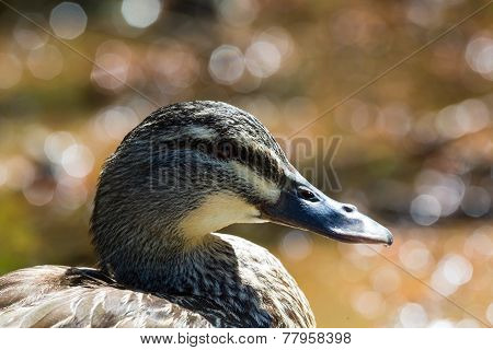 Mallard Duck Close-up