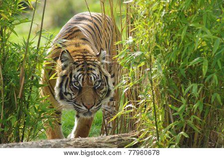 Sumatran Tiger stocking