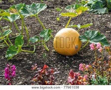 Single pumpkin in the cottage garden