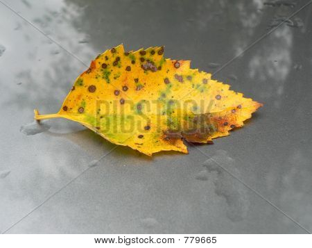 Diseased Birch leaf