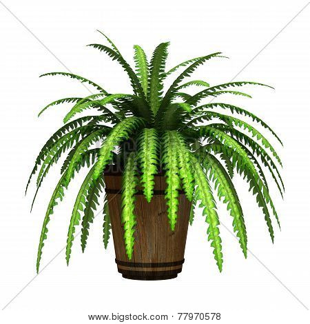 Boston Fern On White