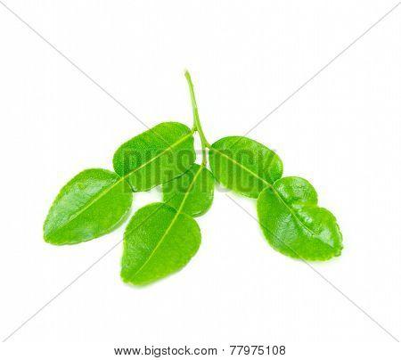 Bergamot Leaf (kaffir Lime) On White Background