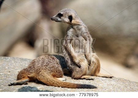 Meerkats (Suricata suricatta), also known as the suricates.