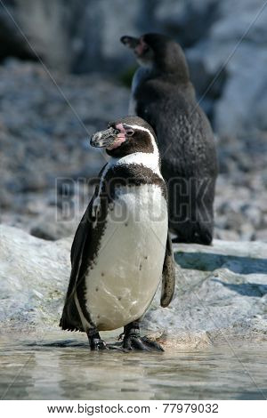 Humboldt penguins (Spheniscus humboldti), also known as the Chilean penguins.