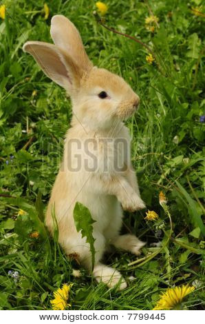 Cute Rabbit Standing on Hind Legs