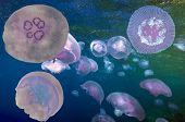image of oceanography  - Group of light blue jellyfish - JPG