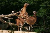 image of lamas  - Guanaco lamas  - JPG