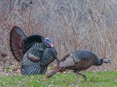 image of gobbler  - Wild turkey strutting for a mate in the spring mating season - JPG
