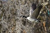 picture of canada goose  - Canada Goose Flying Across the Autumn Woods - JPG