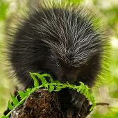 stock photo of nocturnal animal  - Porcupette  - JPG
