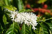 image of tropical plants  - Coffee tree with white coffee flower on cafe plantation cafe is main plant at basalt soil like Bao Loc Lam Dong Viet Nam and coffee is Vietnam agriculture product to export - JPG