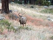 pic of mule  - Large mule deer buck standing on a hillside in Rocky Mountain National Park near Estes Park Colorado - JPG
