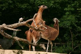 stock photo of lamas  - Guanaco lamas  - JPG