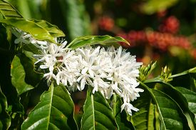 image of coffee coffee plant  - Coffee tree with white coffee flower on cafe plantation cafe is main plant at basalt soil like Bao Loc Lam Dong Viet Nam and coffee is Vietnam agriculture product to export - JPG