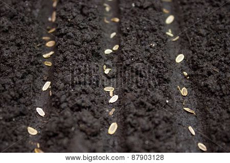 Seeds Planted In The Ground In The Garden.seed Of Wheat On Brown Soil In Perfect Light, With Low Sha