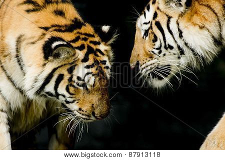 Two Tigers In Their Natural Environment