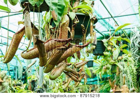 Nepenthes In Garden