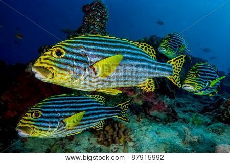 Sweetlips Fish