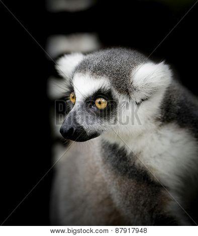 Wild Meerkats (aka Suricates), Karoo, South Africa
