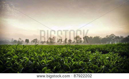 Beautiful fresh green tea at Viet Nam