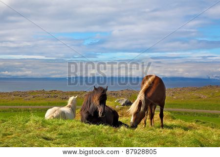 Iceland in the summer. Farm grazing herds. Well-groomed horses grazing in a meadow near the farm