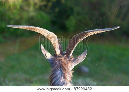 Goat Horns Grazing