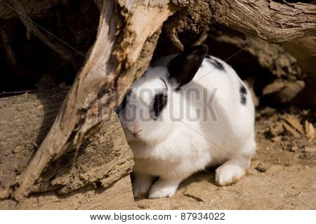 Rabbit Coming Out Of Hiding