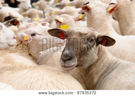 Sheep In Flock Looking At Camera