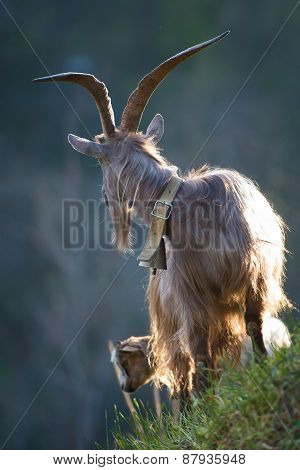 Grazing Goat With Big Horns
