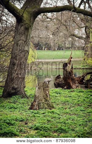 Squirrel Sitting On A Tree Stump In The St. James's Park