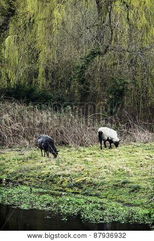 Two Sheep Grazing In The English Countryside