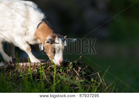 Small Goat Grazing