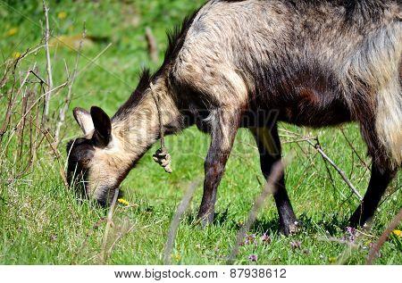 Goat Grazing Grass Outdoors