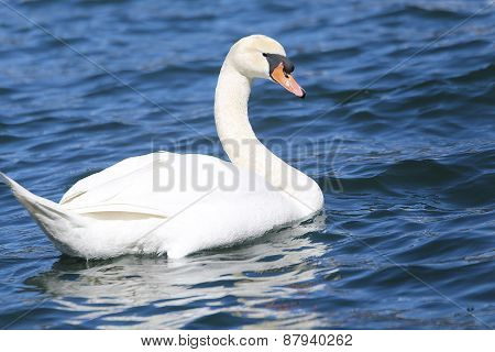 Beautiful White Swan Swimming In The Clear Water
