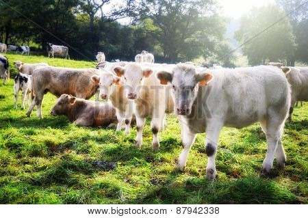 Herd Of Young Calves