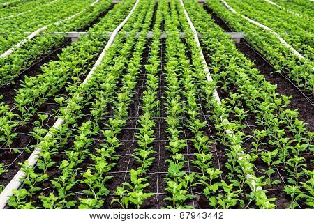 Small Chrysanthemum Cuttings Growing In A Nursery