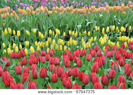 Field Of Tulip