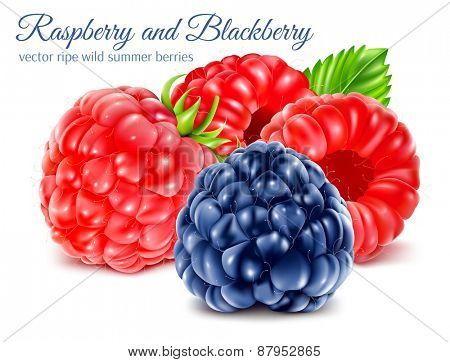 Ripe raspberries and blackberry. Vector illustration.
