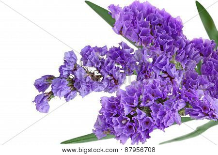 Statice Flower