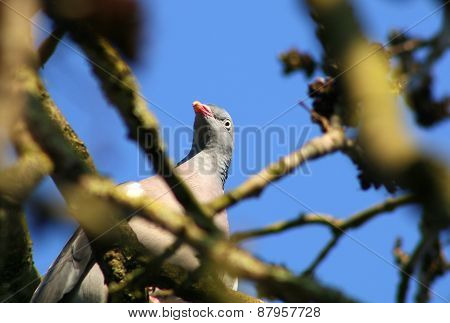 Curious Wood Pigeon