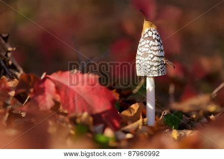 Coprinus Comatus is a comestible mushroom growing in autumn