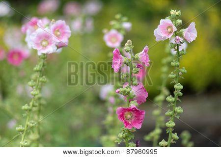 Alcea Rosea flowers in a tropcial garden, shallow depth of field