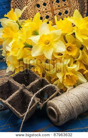 Bouquet Of Blooming April Daffodils