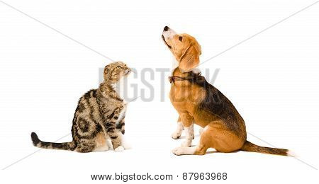 Beagle dog and cat Scottish Fold sitting together