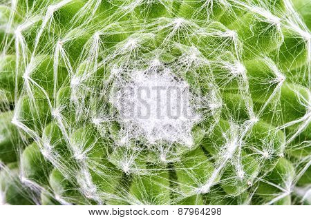 Cobweb Houseleek