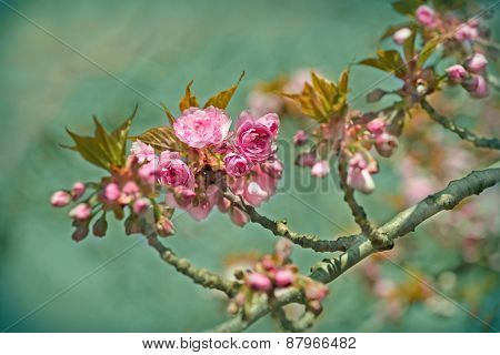 Cherry branch blossom - Japanese cherry