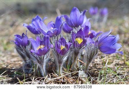Mountain Pasqueflower (Pulsatilla montana)