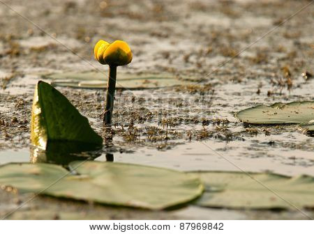 Yellow Water Lily(nuphar Lutea),horizontal