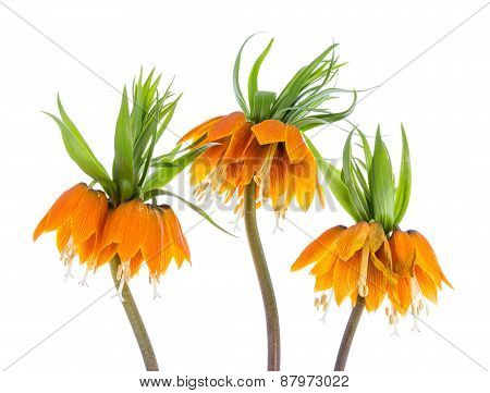 Three Imperial Crown (fritillaria Imperialis) Isolated On White Background
